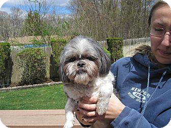 Shih Tzu/Lhasa Apso Mix Dog for adoption in Sparta, New Jersey - Minto