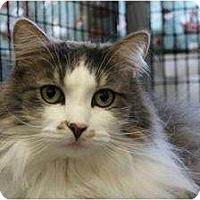 Domestic Longhair Cat for adoption in Saranac Lake, New York - Honey