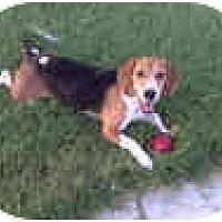 Adopt A Pet :: Baxter Bursnickle - Phoenix, AZ