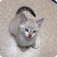 Adopt A Pet :: Cuddles - Island Park, NY