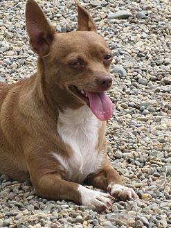 Chihuahua Dog for adoption in Elk Grove, California - Cadbury