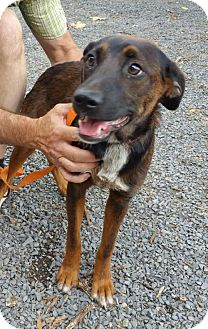 Mountain Cur Mix Dog for adoption in Albemarle, North Carolina - Penny