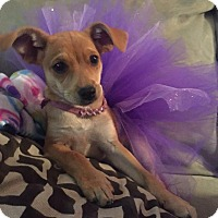 Adopt A Pet :: Roxy - West Richland, WA