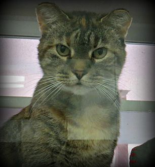 American Shorthair Cat for adoption in tama, Iowa - Geniva