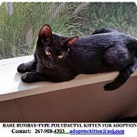 Adopt A Pet :: MAX Polydactyl Bombay Type - Philadelphia, PA