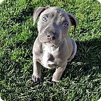 Adopt A Pet :: Raider - San Jose, CA