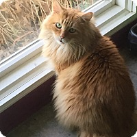 Domestic Mediumhair Cat for adoption in Topeka, Kansas - Jesse