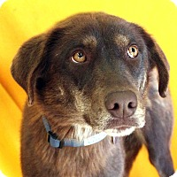 Adopt A Pet :: Lilly - Westminster, CO