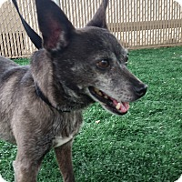Chihuahua Mix Dog for adoption in Chula Vista, California - Neptune