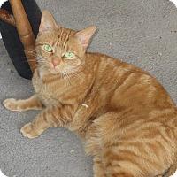 Adopt A Pet :: Marmalade - Toronto, ON