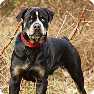 Rottweiler Mix Dog for adoption in Pearland, Texas - Balou