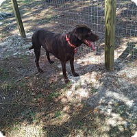 Labrador Retriever Dog for adoption in Southport, Florida - Abraham