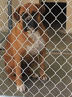Boxer Dog for adoption in Austin, Texas - Sugar Plum
