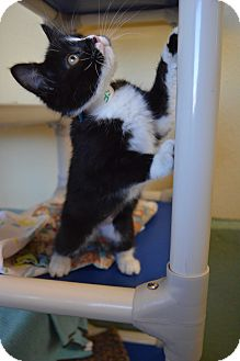 Domestic Shorthair Kitten for adoption in Buena Vista, Colorado - Elf