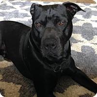 Adopt A Pet :: Lovable Loki - Seattle, WA
