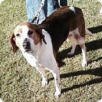 Hound (Unknown Type) Mix Dog for adoption in Midlothian, Virginia - Polka