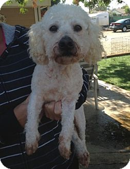 Bichon Frise Dog for adoption in Temecula, California - Jonathan