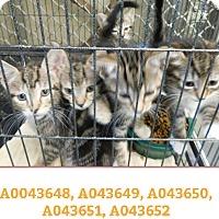 Adopt A Pet :: TIGER KITTENS - Ocala, FL