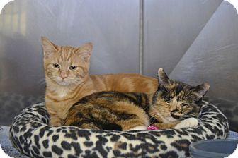 Domestic Shorthair Cat for adoption in Byron Center, Michigan - Bindi