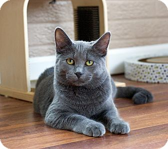 Russian Blue Cat for adoption in Troy, Michigan - Wally