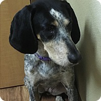 Bluetick Coonhound Mix Dog for adoption in Charlotte, North Carolina - Willow