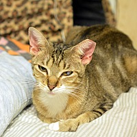 Adopt A Pet :: Tiger Lily - Queens, NY