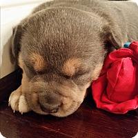 Adopt A Pet :: Violet - Allison Park, PA