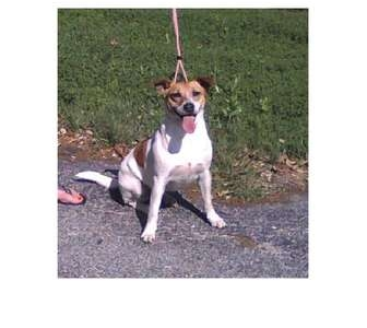 Jack Russell Terrier Mix Dog for adoption in San Antonio, Texas - Cookie in SA
