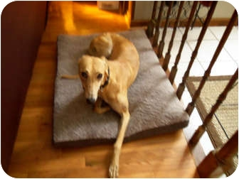 Greyhound Dog for adoption in Knoxville, Tennessee - Sandy