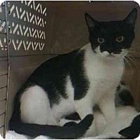 Adopt A Pet :: Brigette - Reston, VA