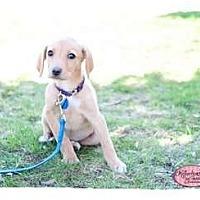 Adopt A Pet :: Rosie - Haverhill, MA