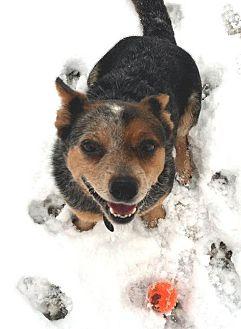 Australian Cattle Dog Dog for adoption in Lacon, Illinois - Gertie