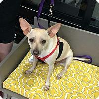 Adopt A Pet :: Macaroni - Houston, TX