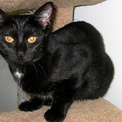 Photo 2 - Domestic Shorthair Cat for adoption in Westville, Indiana - Satina