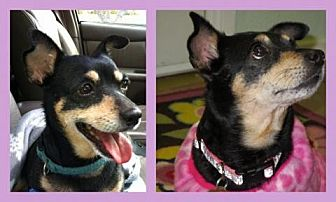Miniature Pinscher/Chihuahua Mix Dog for adoption in Trabuco Canyon, California - Stephie