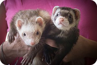 Ferret for adoption in Brandy Station, Virginia - DILLINGER & CAPONE