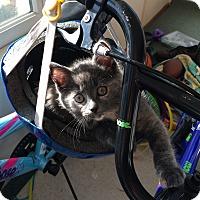 Adopt A Pet :: Cece - Glen Mills, PA
