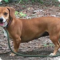 Adopt A Pet :: Muffin - Harrisonburg, VA
