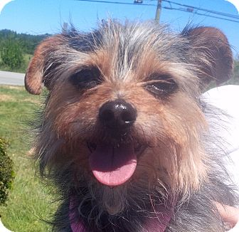 Yorkie, Yorkshire Terrier/Terrier (Unknown Type, Small) Mix Dog for adoption in Surrey, British Columbia - Callie