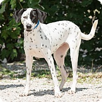 Dalmatian Mix Dog for adoption in Northbrook, Illinois - Estee