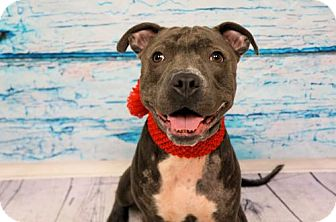 Pit Bull Terrier Dog for adoption in Virginia Beach, Virginia - 1608-1536 Izzy (aka Monkey)