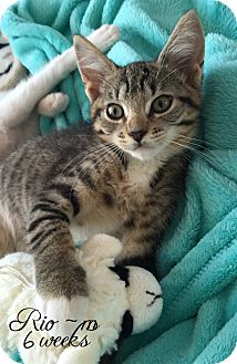 Domestic Shorthair Kitten for adoption in Island Park, New York - Rio