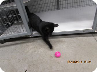 Domestic Shorthair Cat for adoption in BLACKWELL, Oklahoma - Kitty