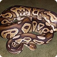 Snake for adoption in Markham, Ontario - Rollo