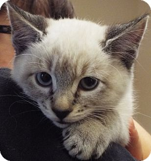 Siamese Kitten for adoption in Grants Pass, Oregon - Fizz