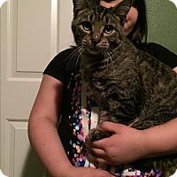 Domestic Shorthair Cat for adoption in Hazard, Kentucky - Spike