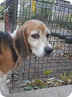 Beagle Dog for adoption in Hagerstown, Maryland - Tilly