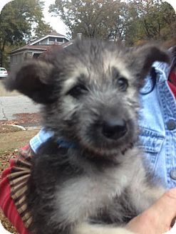 Shepherd (Unknown Type) Mix Puppy for adoption in Memphis, Tennessee - Ollie