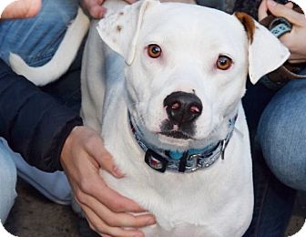 Pit Bull Terrier/Labrador Retriever Mix Dog for adoption in New York, New York - Marshmallow