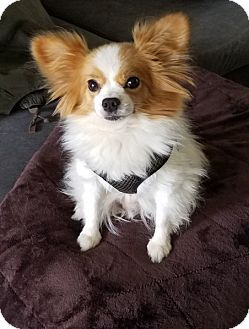 Papillon Dog for adoption in Morgantown, Indiana - GUY-pending